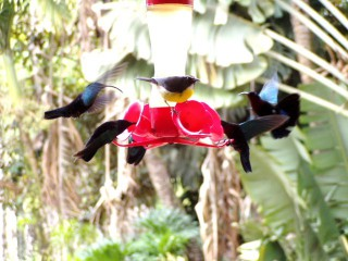 Photo : COLIBRIS JARDIN DE BALATA