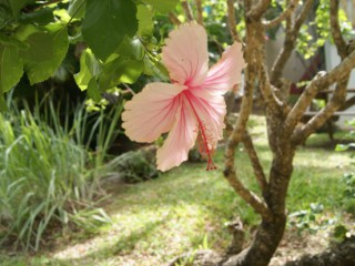 L'hibiscus rose : Sainte-Anne Martinique